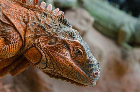 stock photo  animal iguana lizard