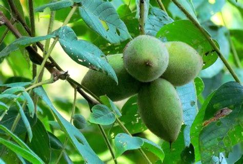Butternut Tree Leaves Nuts