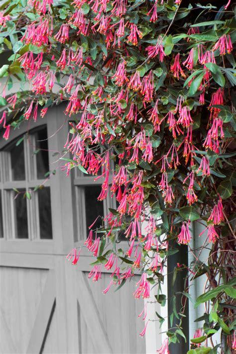 fast growing flowering vines  wall climbing vines