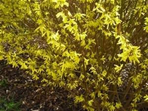 Alpenveilchen Gelbe Blätter : forsythie pflanzenkosmos ~ Lizthompson.info Haus und Dekorationen