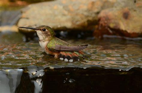 hummingbird water hummingbird water 28 images hummingbird breaking water bubble with her beak they sure