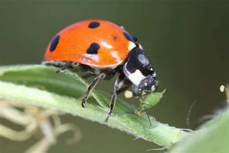 image gallery ladybugs aphids