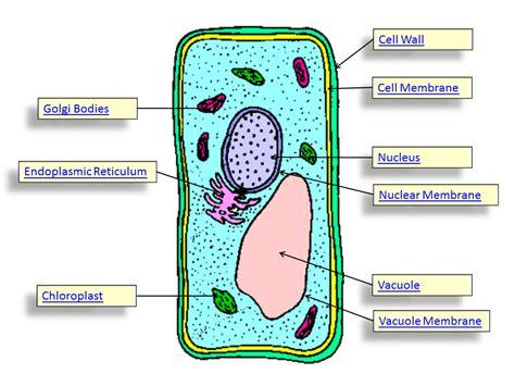 unspecialised plant  animal cells skoolerscom csec