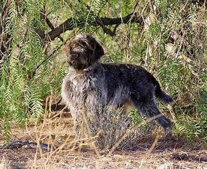 Wirehaired Pointing Griffon Hunting | www.pixshark.com ...