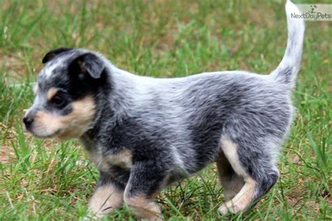 Blue Heeler Shed by Breeds Small Terriers Alphabetical Order Breeds