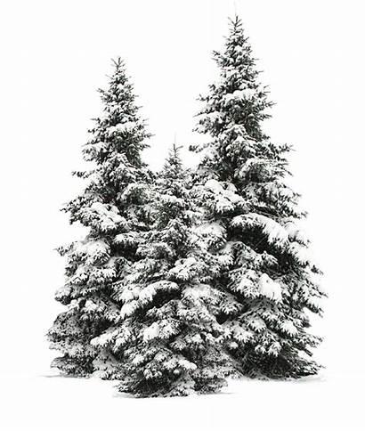 Tree Snow Trees Winter Snowy Pine Christmas