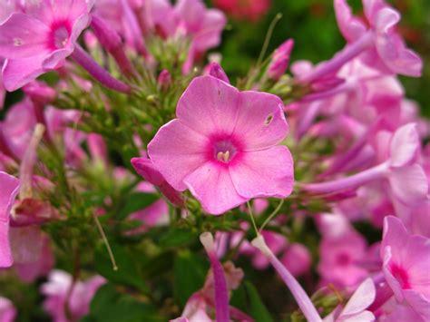 Filepinkflowersbloom Forestwanderjpg  Wikimedia Commons
