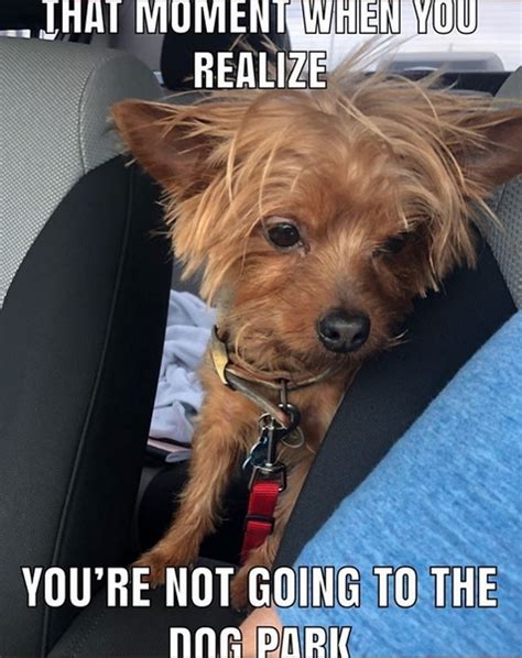 14 Funny Yorkshire Terrier Memes That Will Make You Smile ...