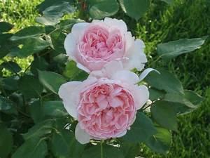 Rosier Grimpant Remontant : 61 best rosier grimpant images on pinterest rose trees ~ Melissatoandfro.com Idées de Décoration