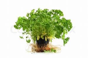 Baum Im Topf : garten petersilie baum im kleinen topf auf wei em ~ Michelbontemps.com Haus und Dekorationen