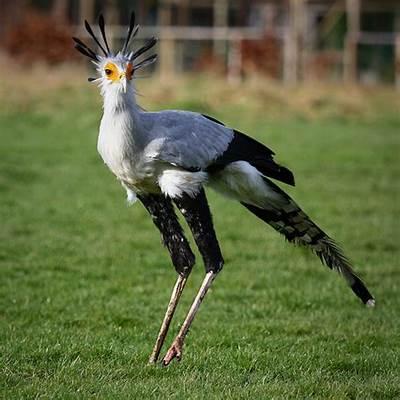 Secretary BirdFlickr - Photo Sharing!