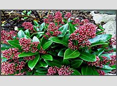 Male plant Skimmia Japonica Rubella Aberdeen Gardening