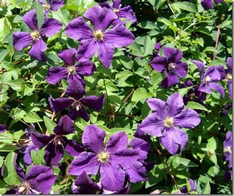 Clematis Climbers For Outdoor Cultivation
