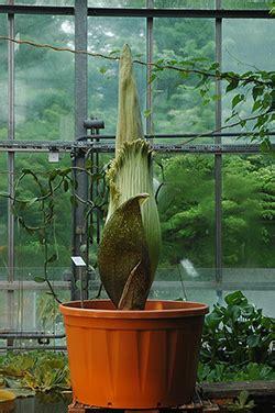 Botanischer Garten Kiel Cau by Uni Kiel Titanenwurz Will Wieder Bl 252 Hen