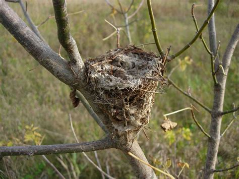 birds nest pics tywkiwdbi quot tai wiki widbee quot i have a question about a bird s nest
