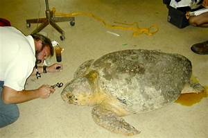 Sea Turtle Physical Examination Part 1  Eyes