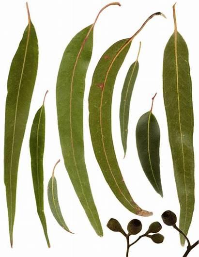Australian Leaves Instrument Reference Eucalyptus Musical Gumleaves