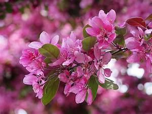 Rosa Blühende Bäume April : hintergrundbilder japanische kirschbl te rosa farbe blumen ~ Michelbontemps.com Haus und Dekorationen