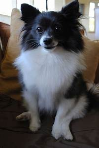 Pomeranian Dog : Temperament, Exercise and Grooming