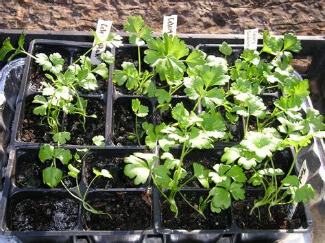 starting seedlings starting seeds vs buying plants new life on a homestead homesteading blog