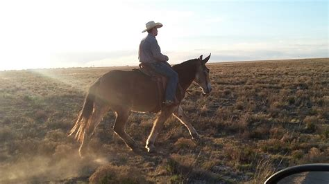 mule draft gaited ranch fullsize