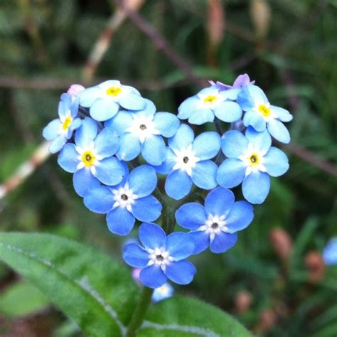 forget me not flowers heart shaped forget me not flowers dog tattoo pinterest nicole kidman flower and tom cruise