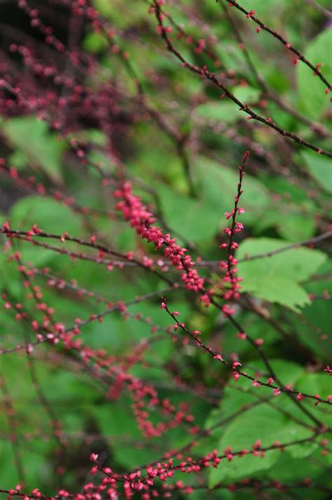 persicaria virginiana lance corporal   woodland plant