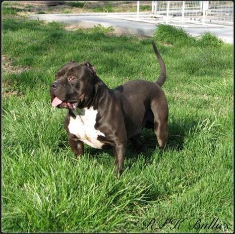 pit bull dog for sale in delhi top 28 pit price pitbull puppies for sale bully pitbull pups blue pits pit bull breed