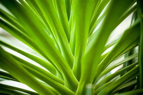 Dracaena Arborea Plant - Plantscapers
