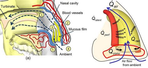 Nasal Airflow Diagram by Physiology Of Heat Transfer Processes Inside Nasal Cavity