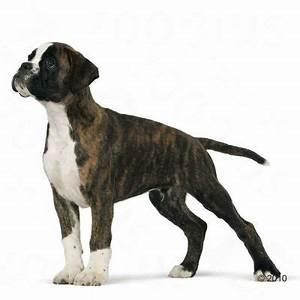 Royal Canin Anallergenic Hund : royal canin boxer junior ~ Frokenaadalensverden.com Haus und Dekorationen