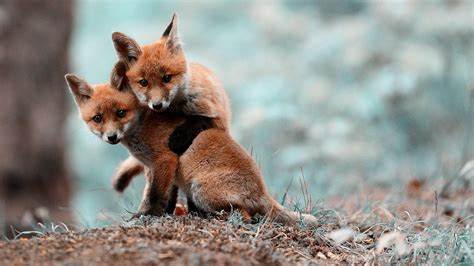 Baby Animals Wallpapers - baby fox wallpapers baby animals