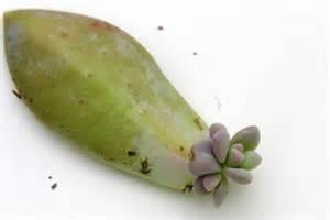 Succulent Plant Propagation