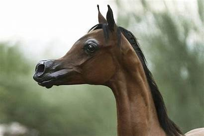 Horse Cheval Horses Arabe Sang Pur Cartoon