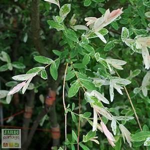 Quand Tailler Un Saule Crevette : l 39 arbre crevette est un saule salix integra jardipartage ~ Melissatoandfro.com Idées de Décoration