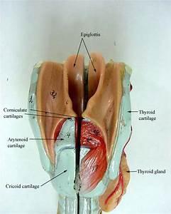 Larynx Model Labeled | www.pixshark.com - Images Galleries ...