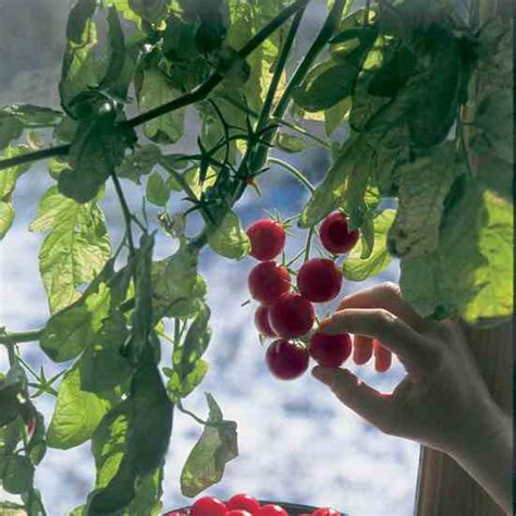 growing seeds in winter winter tomatoes organic gardening mother earth news
