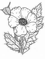 Poppy Coloring Wildflower Drawing Remembrance Pages Poppies Colouring Template Printable Sketch Colorluna Sheets Getdrawings sketch template