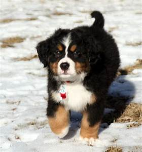 Bernese Mountain Puppy running on the snow in the sun.PNG ...