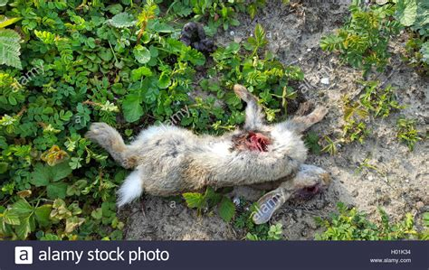 mäuse im haus vertreiben steinmarder stein marder hausmarder haus marder martes foina stock photo 120509512 alamy