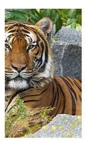 Malayan tiger 4K Wallpaper, Big Cat, Wild animal, Predator ...