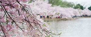 Cherry Blossoms Dc 2018  Insider U0026 39 S Guide  Everything You