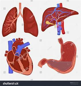 Human Internal Organs Set  Lungs  Liver  Stomach And Heart
