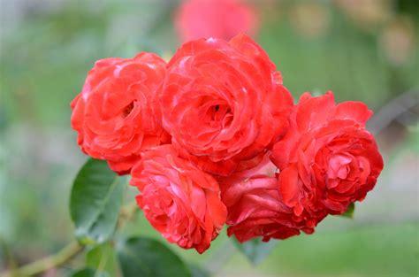 nisachonwangkasem: ลักษณะและสายพันธุ์ของดอกกุหลาบ