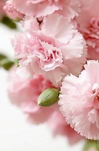 Langage Des Fleurs Pivoine : oeillet fleur oeillets fleurs oeillets roses et oeillet fleur ~ Melissatoandfro.com Idées de Décoration
