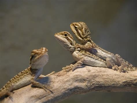 bearded names female bearded dragon names creative names and ideas the bearded dragon project