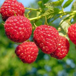 Amity Red Raspberry - Raspberry Plants