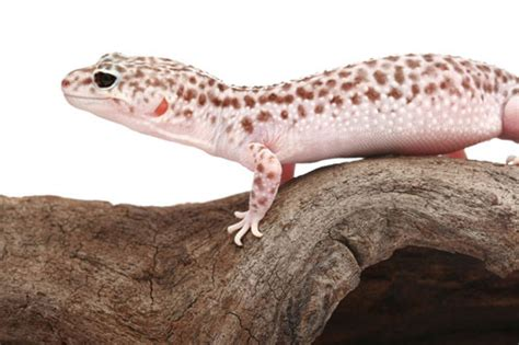 Crested Gecko Shed Box by Leopard Gecko Care Sheet