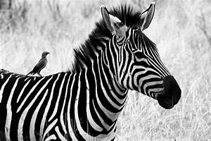 Black And White Photography Zebra | Photography Pictures ...