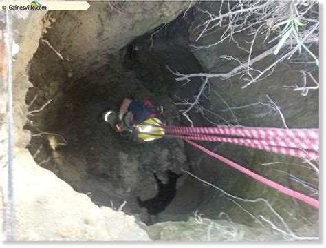 Alachua Sink Gainesville Fl by Calf Rescued From Sinkhole In Alachua County Florida